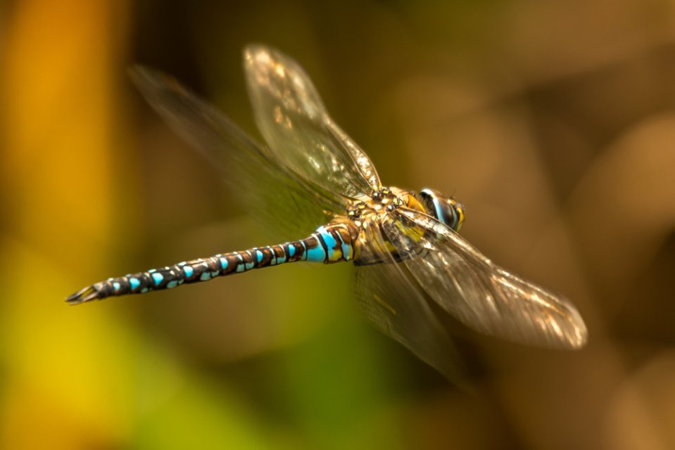 Male azure hawker dragonfly flying through undergrowth