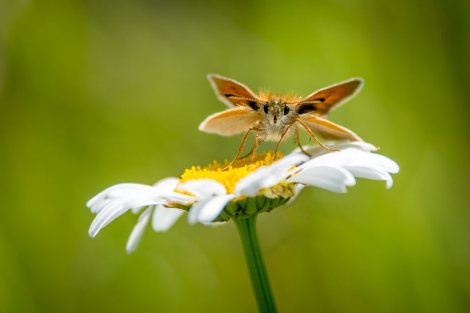 Moth on a daisy