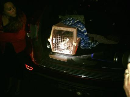 Relaeasing a bobcat
