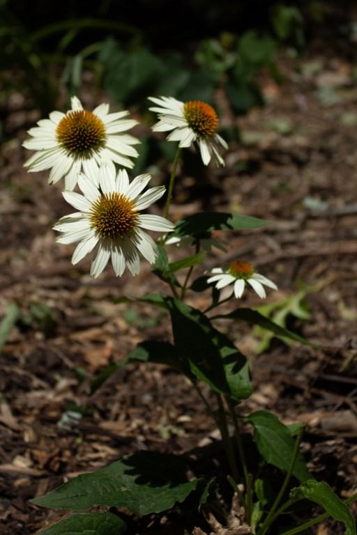 photo of some white daisies