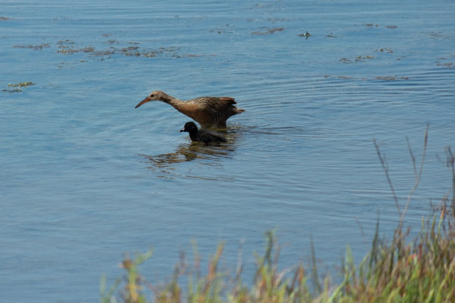 photo of a Ridgway's rail with its baby wading in some water