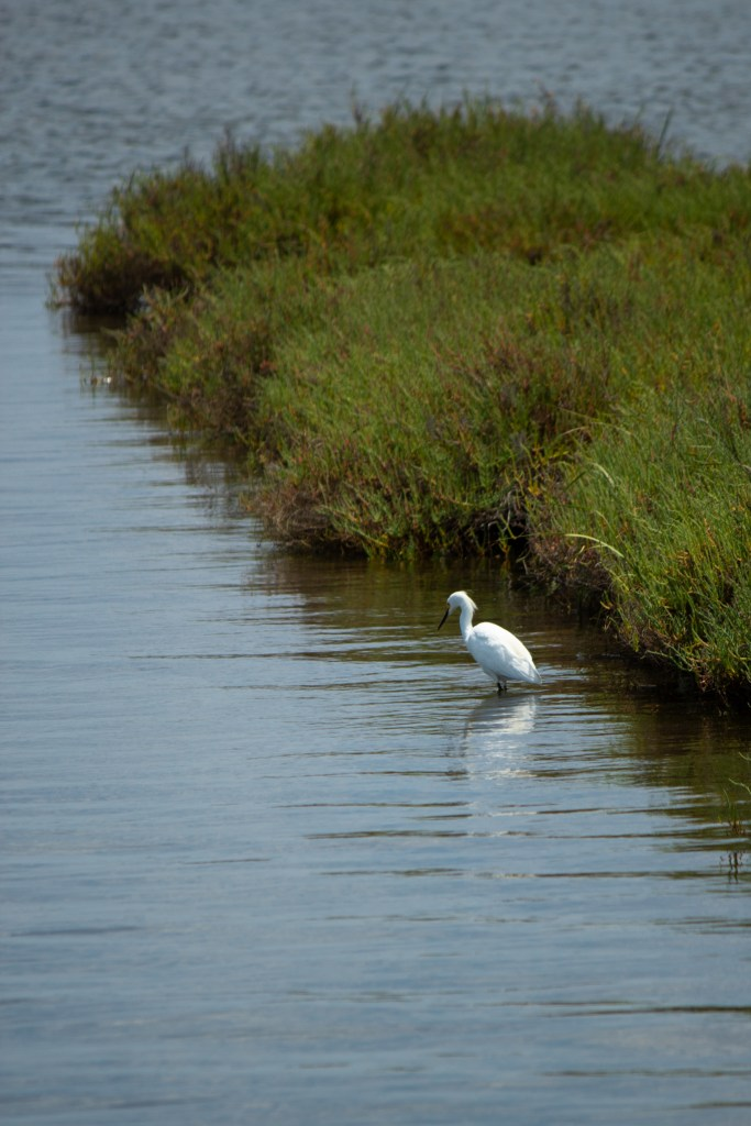 photo of a snowy egret wading in some wetlands