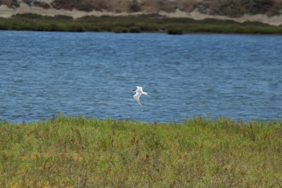 photo of a Forster's tern in flight over the Bolsa Chica wetlands