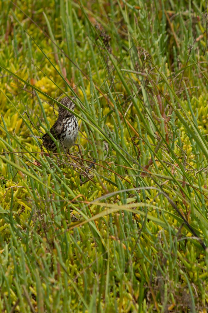 photo of a Belding's Savannah sparrow in some tall grass