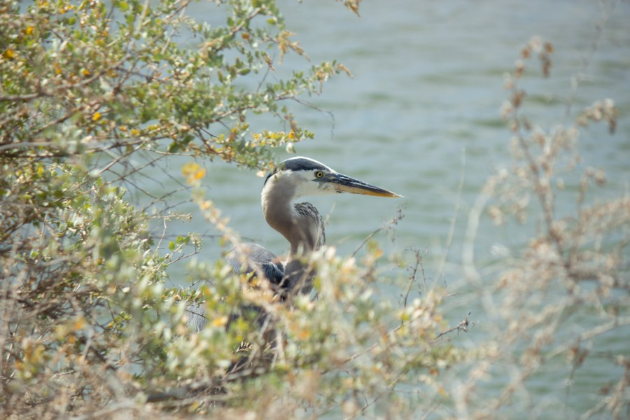 photo of a great blue heron hidden behind some brush