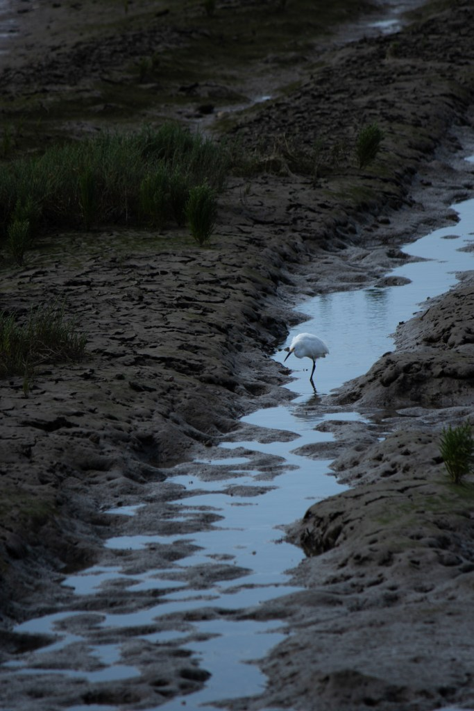 photo of a snowy egret standing in some wetlands