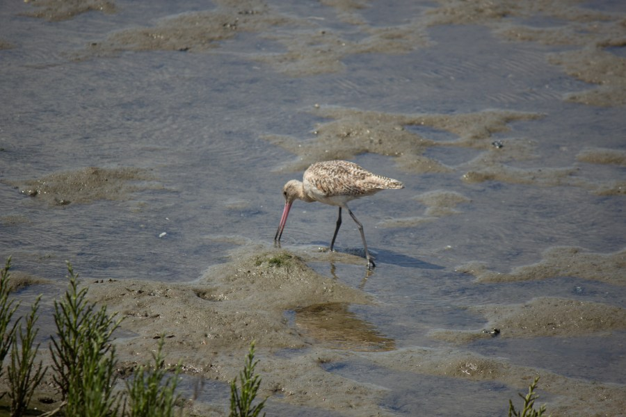 photo of a marbled godwit in shallow water eating