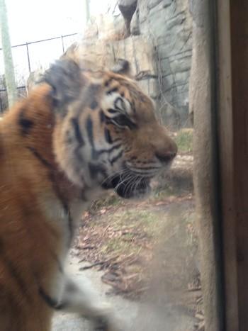 2014-12-23 tiger3
