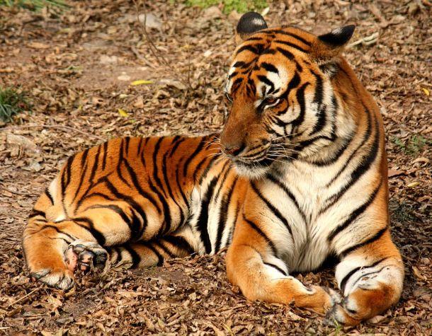 """2012 Suedchinesischer Tiger"""" by J. Patrick Fischer"""