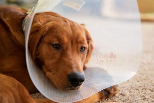 golden retriever after surgery portrait by MN Photographer Nicki Joachim Photography of Owatonna Minnesota