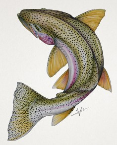 Circling Rainbow Trout