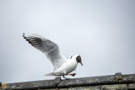 Black-headed gull going for a walk
