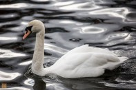 Mute swan going for a swim