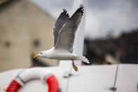 Lesser black-backed gull going for a fly