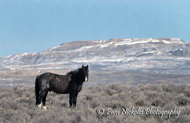 Unusually colored band stallion - Adobe Town, WY