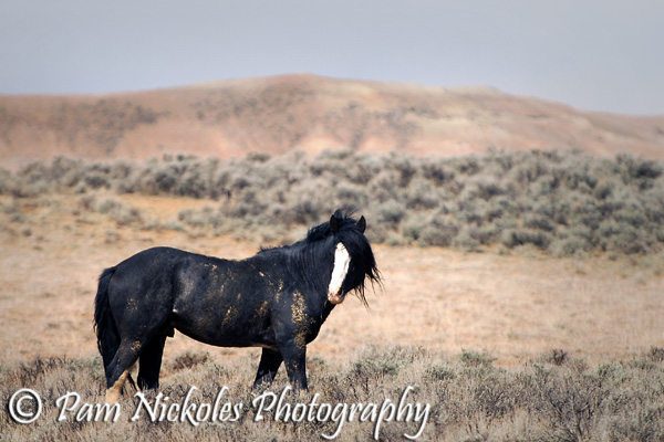Band stallion, Utah