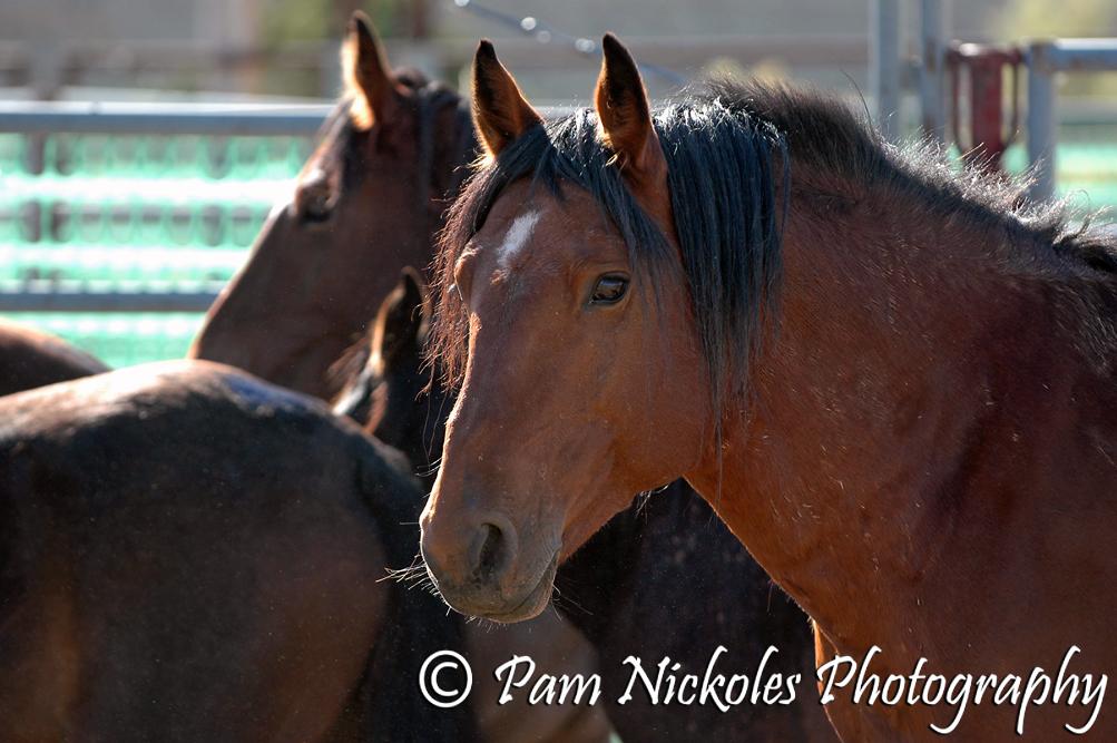Band stallion Duke
