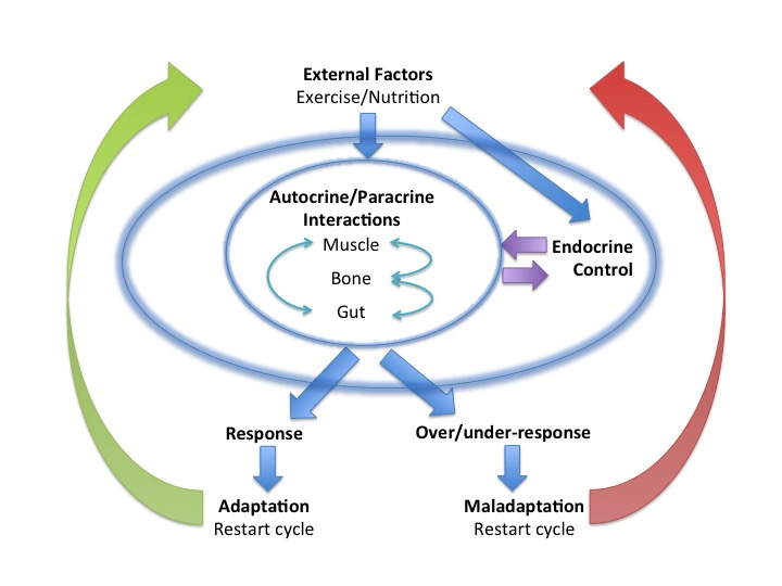 Endocrine System Balance And Interplay In Response To Exercise Training Nicky Keay Fitness