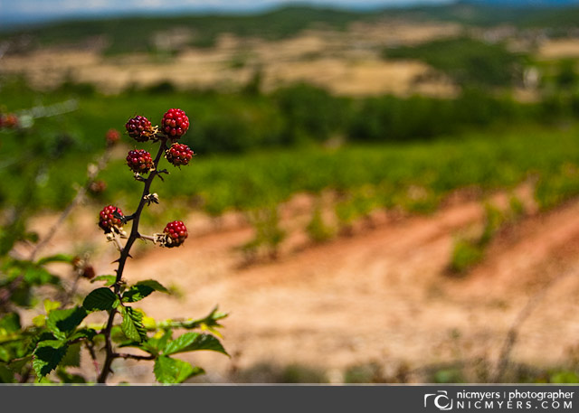 Blackberries: Penedès Wine Region, Spain