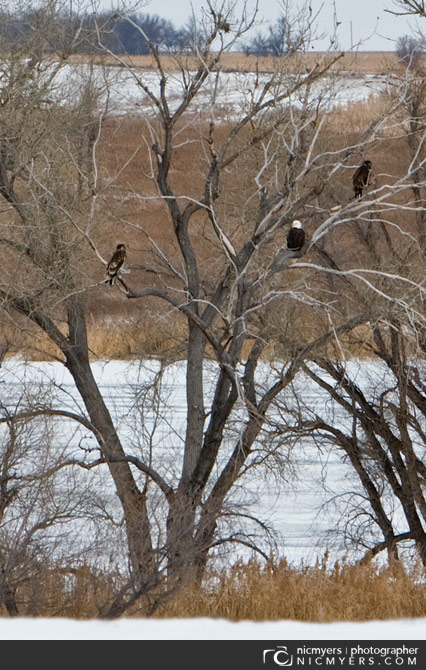 Three Bald Eagles
