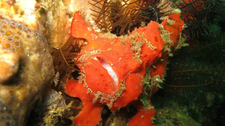 Diving Bali Padang Bai Frogfish