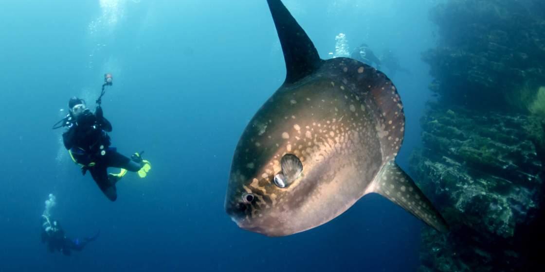 Mola Mola Sunfish Bali Diving Nusa Penida