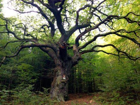 Image: Fairy Tale Tree (550-year-old Oak)