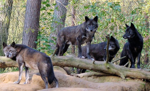 pack-of-black-wolves-in-the-forest