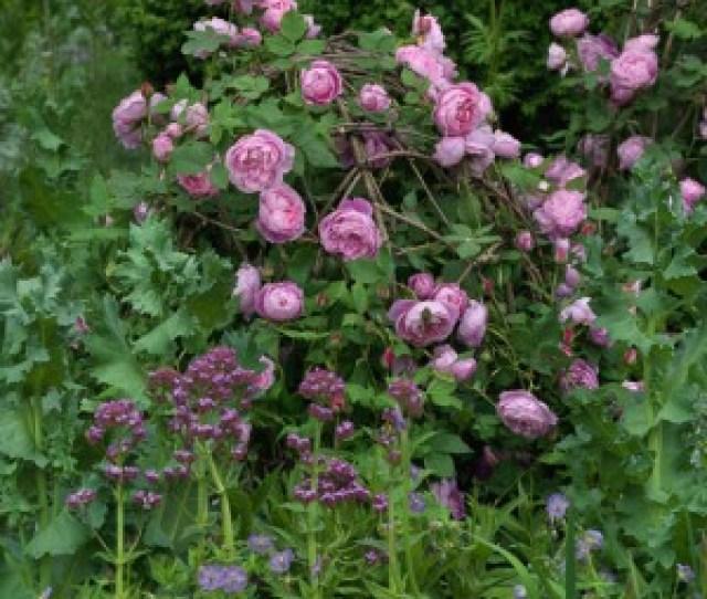 Wpid Romancing The Rose Desi Nicola Stocken Jpg
