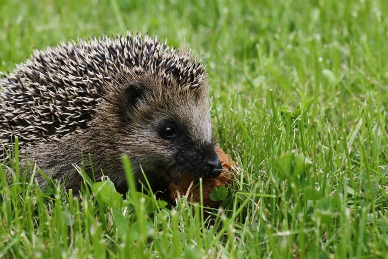 Igel müssen sich im Herbst genügend Reserven für ihren Winterschlaf anfuttern. Doch wieso halten sie überhaupt Winterschlaf? Diese Frage beantwortet die Verhaltensbiologie. (Bildquelle: callocx Baby Hedgehog via photopin (license))