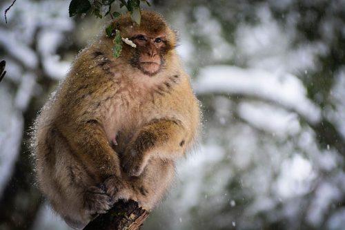 moroccan_monkey