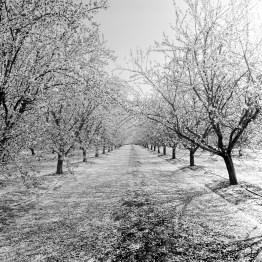 fresno almond blooms nicole caldwell studio 12 blossom trail