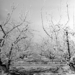 fresno almond blooms nicole caldwell studio 13 blossom trail