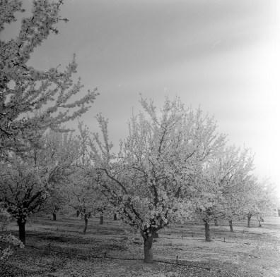 fresno almond blooms nicole caldwell studio 23 blossom trail