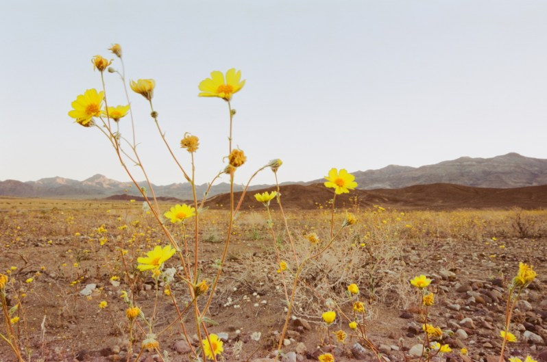 death valley super bloom 2016 nicole calwell 12
