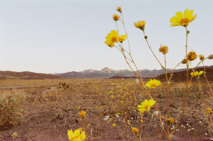 death valley super bloom 2016 nicole calwell 13