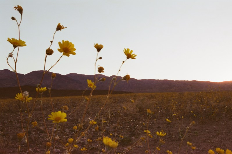 death valley super bloom 2016 nicole calwell 14