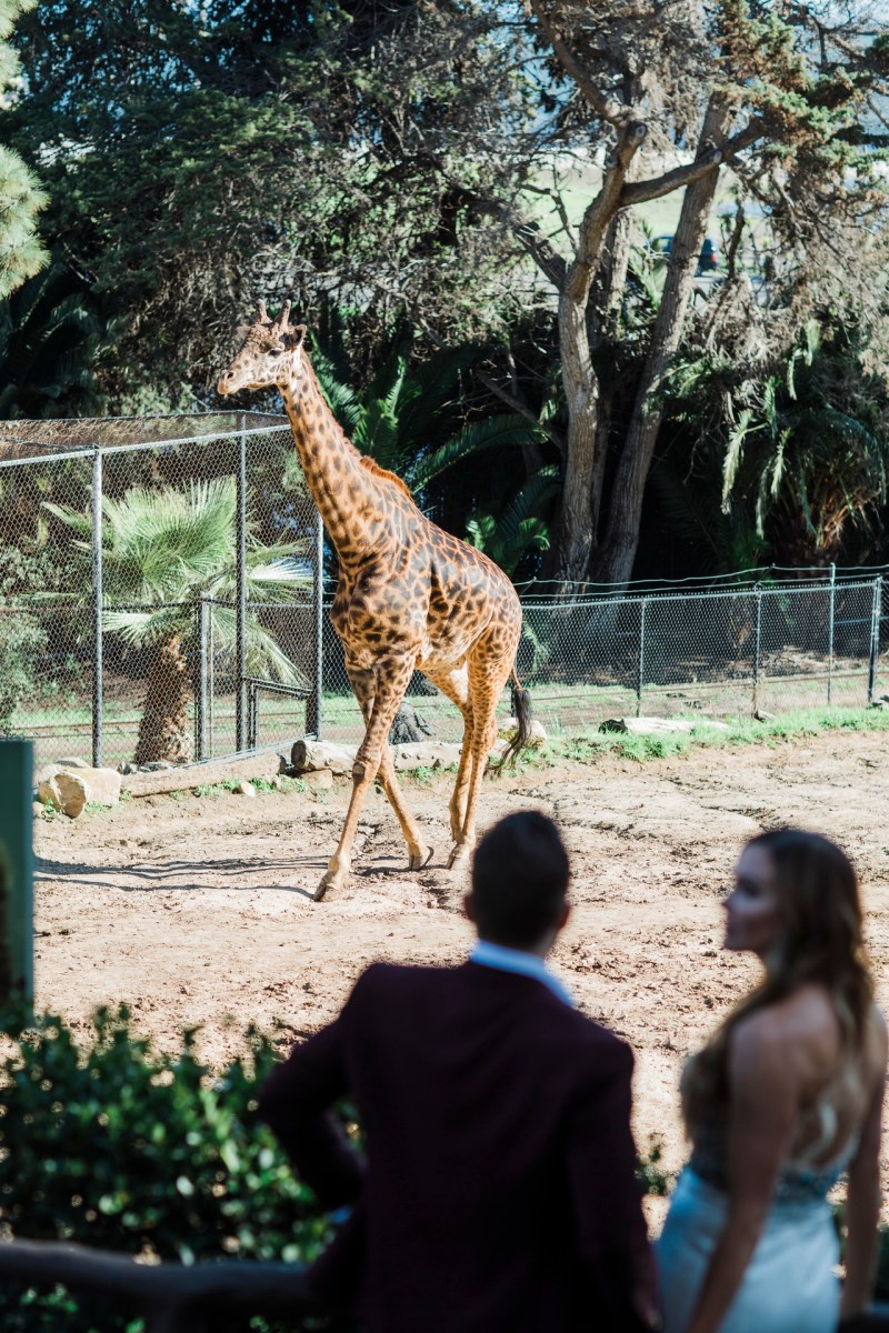 santa barabar zoo wedding and engagement pictures by nicole caldwell 24