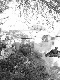 couple with giraffe at zoo santa barbara engagement photographer nicole caldwell