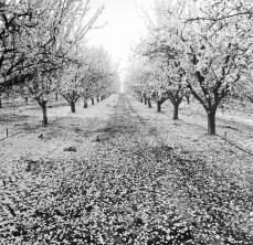 fresno almond blooms nicole caldwell studio 01 blossom trail