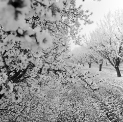fresno almond blooms nicole caldwell studio 06 blossom trail