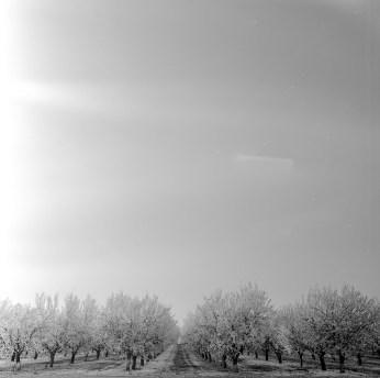 fresno almond blooms nicole caldwell studio 18 blossom trail