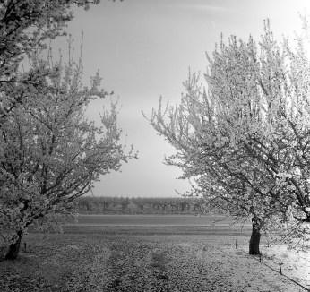 fresno almond blooms nicole caldwell studio 22 blossom trail