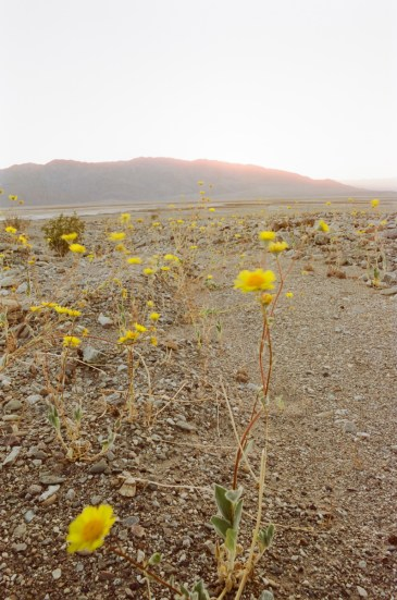 death valley super bloom 2016 nicole calwell 03