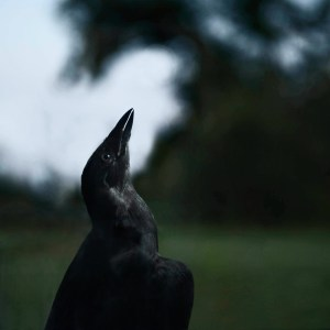 Crow reaching for the sky