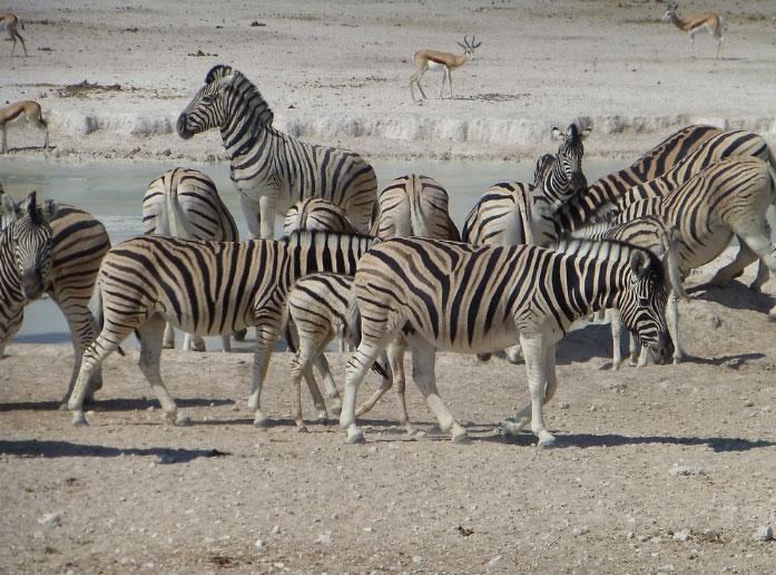 zebras-etosha-national-park-namibia