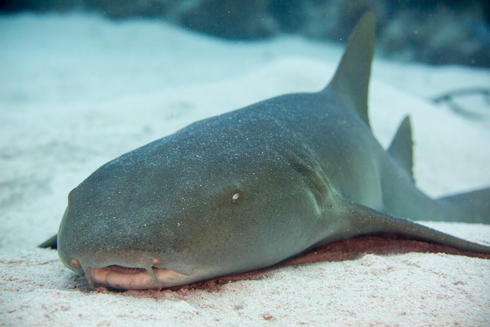 Nurse shark in the Cayman Islands