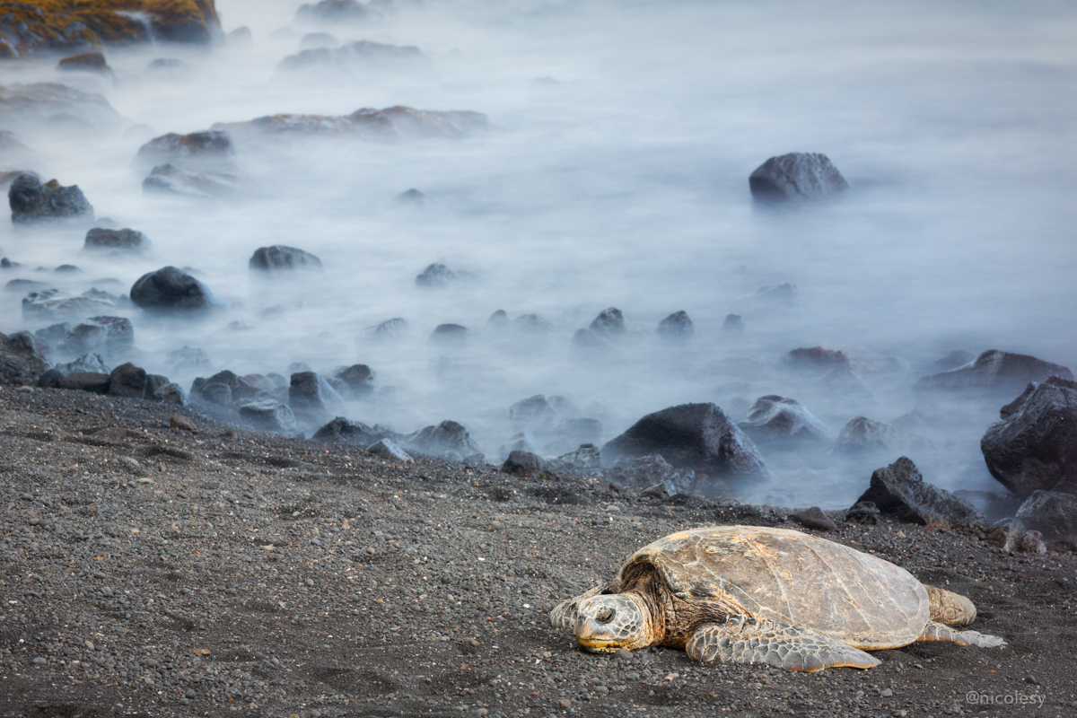 A Sea Turtle at Punalu'u Beach on the Big Island of Hawaii
