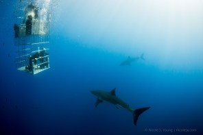 Three great white sharks and a diving cage in the waters of Guadalupe Island, Mexio. (The third is really faint on the lower left!) © Nicole S. Young — nicolesy.com