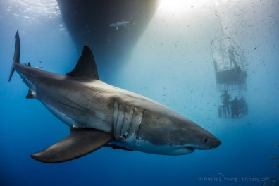 A great white shark in Guadalupe Island, Mexico. © Nicole S. Young | nicolesy.com © Nicole S. Young — nicolesy.com